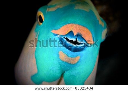 Parrot fish looking at camera closeup image vignetted. - stock photo