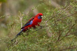 Parrot in the forest (Crimson Rosella)