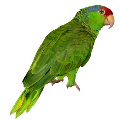 Parrot. Isolated Red Crowned Amazon. Isolated animals