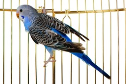 Parrot on a lattice cage. It is isolated on a white background.