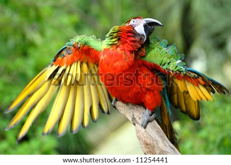 Parrot opened wings