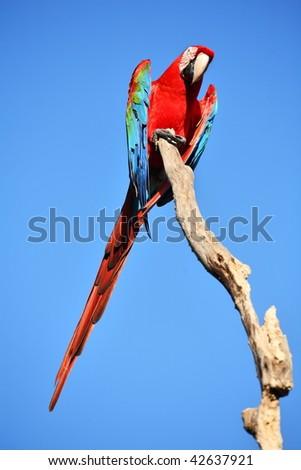 Parrot: scarlet macaw (ara macao)