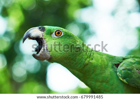Parrot trying to bite. Open beak of green parrot close up - Shutterstock ID 679991485