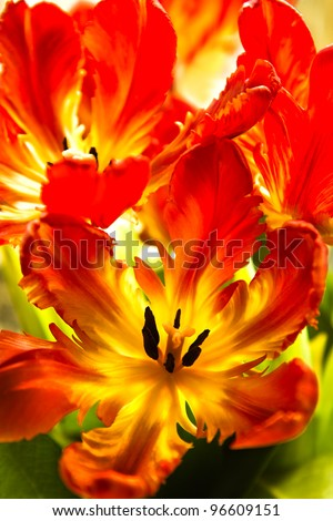 Parrot tulips - funny spring flowers with ruffled and twisted petals in bright colors - vertical image
