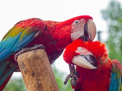 parrot ; Two birds teasing a dry tree. colorful macaws hanging on dry tree under light of blue sky, parrot in zoo. pet concept on photography image.
