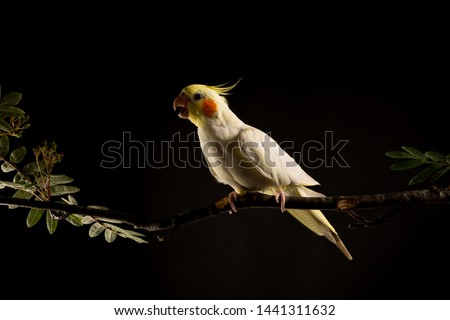 Parrot with Open beak. Angry parrot attacking. isolated on black background