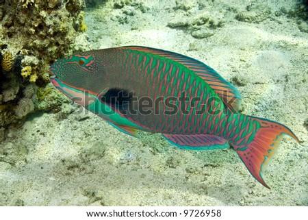 parrotfish - stock photo