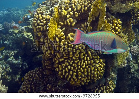 parrotfish and coral