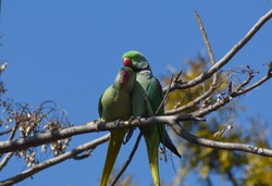 Parrots are found cuddling and sharing love