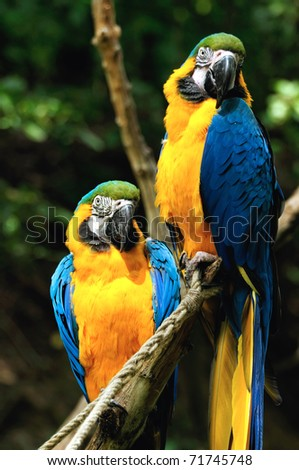 Parrots (Blue-and-yellow Macaw) sitting on a branch