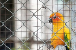 Parrots in cages, being raised by humans.