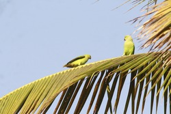 Parrots playing on a tree, having fun as usual. Green colored bent beak creatures are noisy and fast