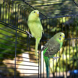 Parrots. Two Parakeets in a cage  Melopsittacus undulatus
