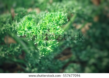 Parsley #557677096