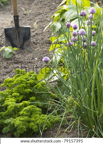 Parsley and Chives in vegetable garden with shovel