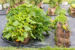 Parsley, carrot, arrugola and spinach growing on the straw bale garden on the landscape fabric with irrigation system