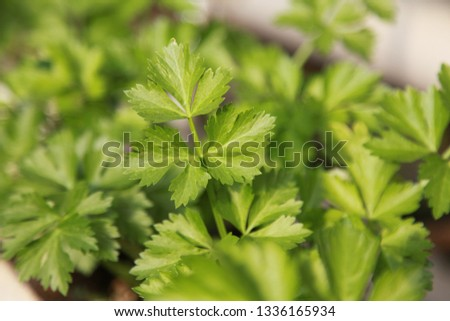 parsley delicious   a wild profusion of vegetation #1336165934