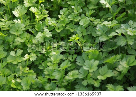 parsley delicious   a wild profusion of vegetation #1336165937
