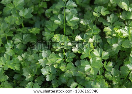 parsley delicious   a wild profusion of vegetation #1336165940