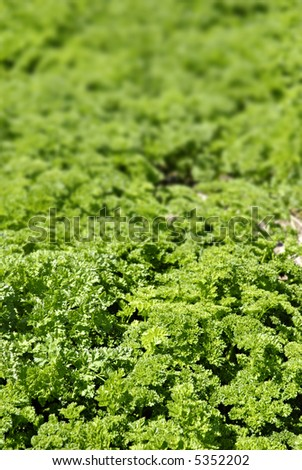 Parsley field in a valley in Central California