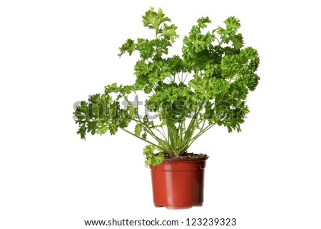 parsley herb plant growing in the  pot, isolated over white background.