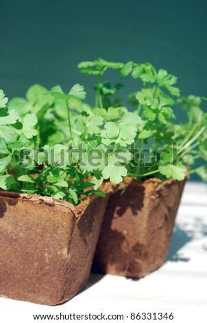 Parsley in peat pots