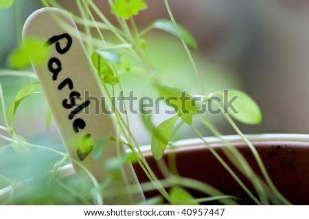 Parsley label in pot