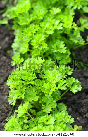 Parsley on bed in vegetable garden. Teleobjective shot with shalow DOF.