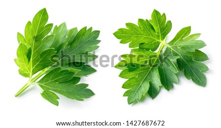 Parsley. Parsley isolated. Parsley on white.