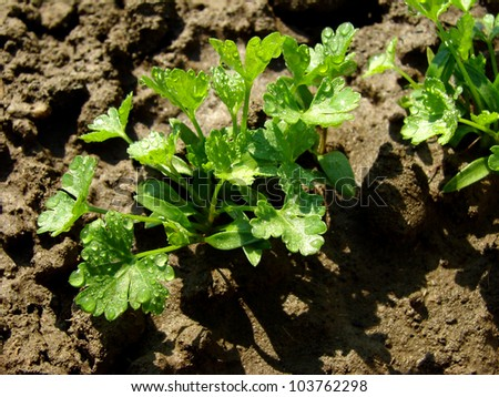 parsley seedlings after watering shallow dof