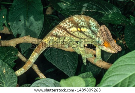 Parson Chameleon male in Madagascar