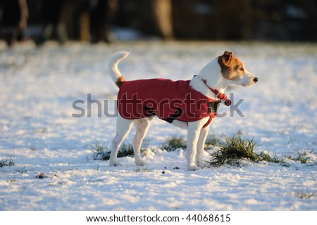 Parson Jack Russell in bright red winter coat looking into the setting sun on a snowy afternoon