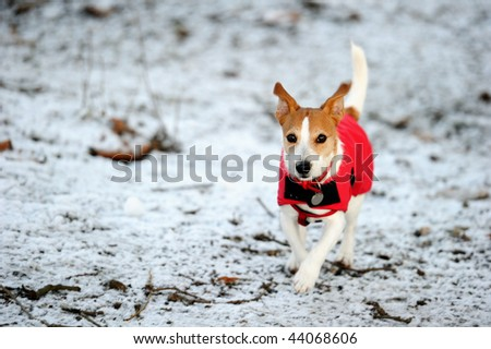 Parson Jack Russell in bright red winter coat running at full speed towards the camera in the snow