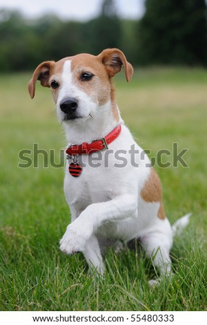 Parson Jack Russell Terrier offering his paw - stock photo
