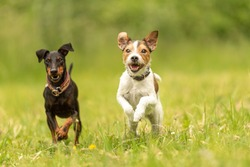 Parson Russell Terrier and black Manchester Terrier Dog. Two small beauty friendly dog are running together over a green meadow