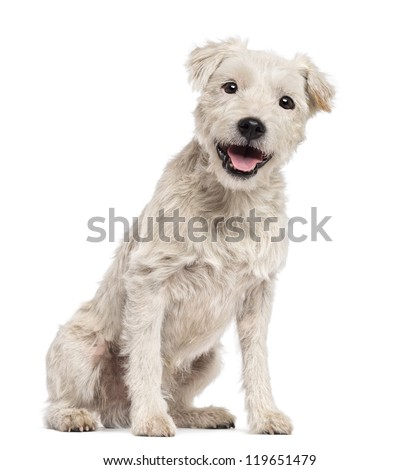 Parson Russell Terrier sitting White Parson Russell Terrier