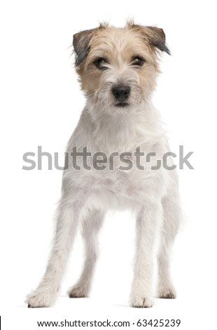 Parson Russell Terrier, 1 year old, standing in front of white background