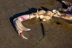 Part of a dead crab on the beach next to the pacific ocean in Oregon, horizontal