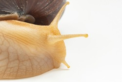 part of a large land snail on a white background. unusual pets. unconventional cosmetology and medicine.