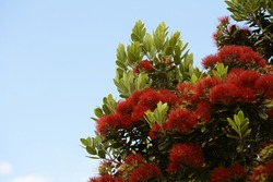 Part of a pohutukawa tree in bloom.