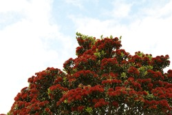 Part of a pohutukawa tree in bloom with the sky.