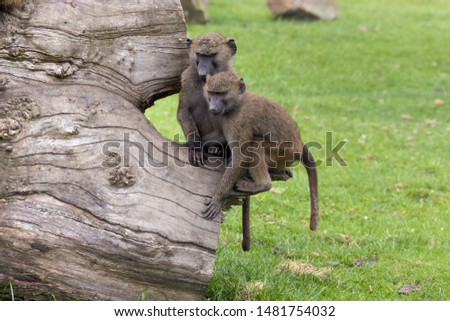 Part of a troop of young olive baboons, large African primates