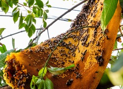 part of large giant honey bee comb fallen on tree branches