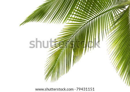 Part of palm tree on white background #79431151