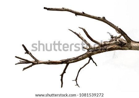 Part of single old and dead tree isolated on white background.Dead branches of a tree .