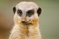 Part of the mongoose family, meerkats live all over Africa. Conservation status Least Concern