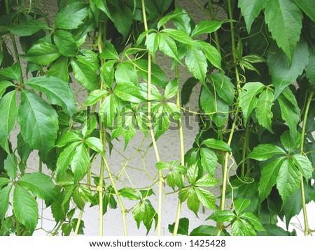 Parthenocissus leaves