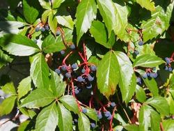 Parthenocissus quinquefolia  - Virginia creeper, Victoria creeper, five-leaved ivy, or five-finger