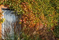 Parthenocissus tricuspidata 'Veitchii' or Boston ivy leaves, around  window on wall of country house. Close-up. Decorating brick walls with beautiful Boston ivy leaves. Nature concept for design