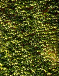 Parthenocissus tricuspidata, Vitaceae, Boston ivy, grape ivy, Japanese ivy, Japanese liana on facade of country brick house, Boston ivy leaves as decoration and decorative element of building.